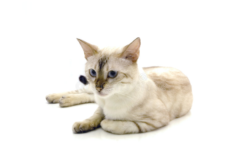 Bengal cat isolated. Isolated cat lying on a white background stock photo