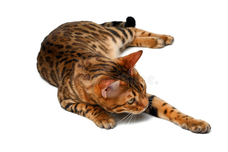 Bengal cat lies on white and raising paw. Bengal cat lies on white background and raising paw stock photography