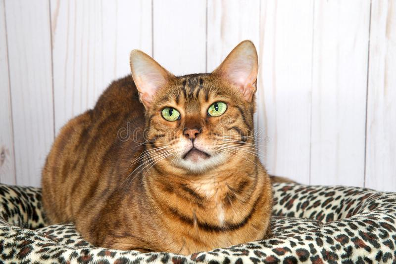 Bengal cat looking up to viewers left, content stock image