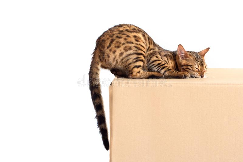 Bengal cat nibbles the box with box isolated on white background stock photo