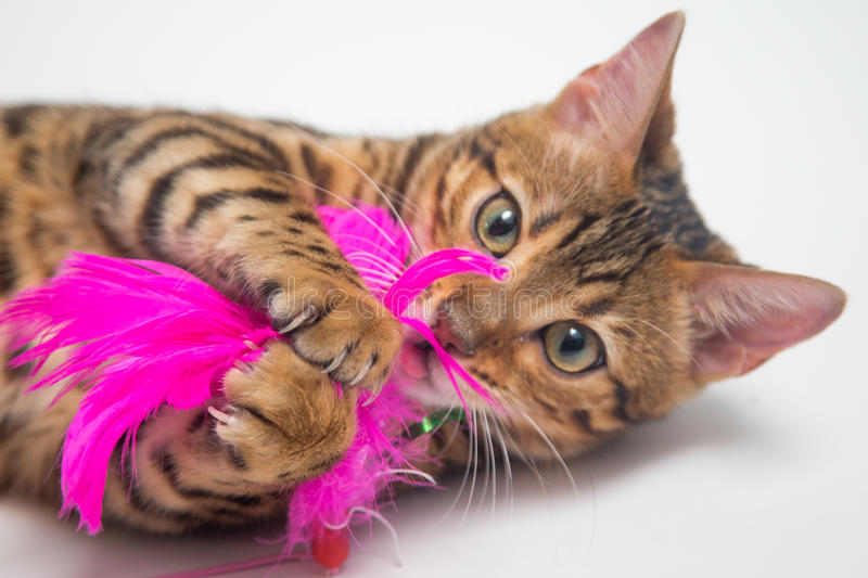 Bengal cat playing with pink toy on white background stock photos
