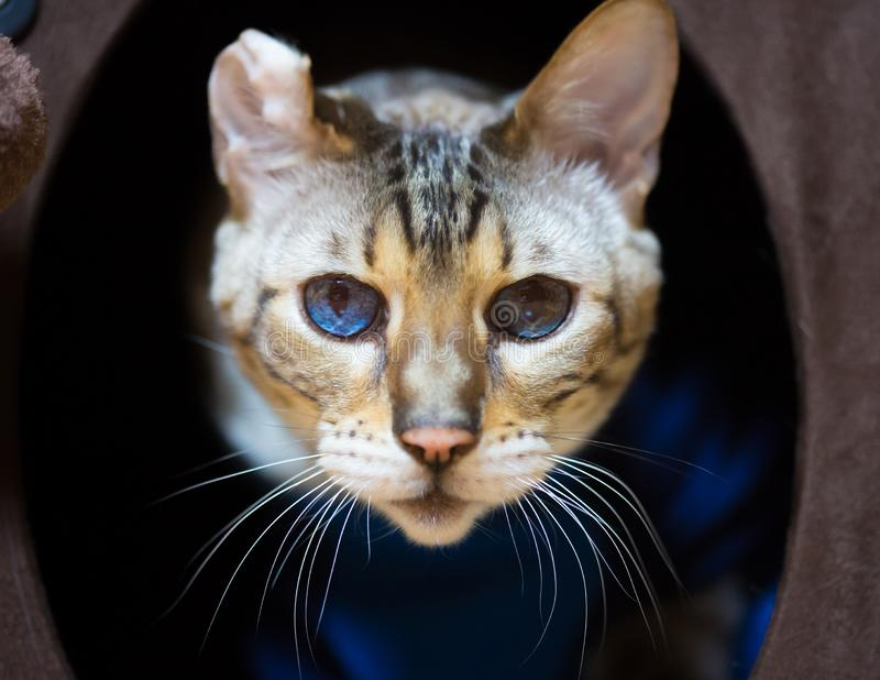 Bengal Cat Portrait with Disfigured Ear royalty free stock images