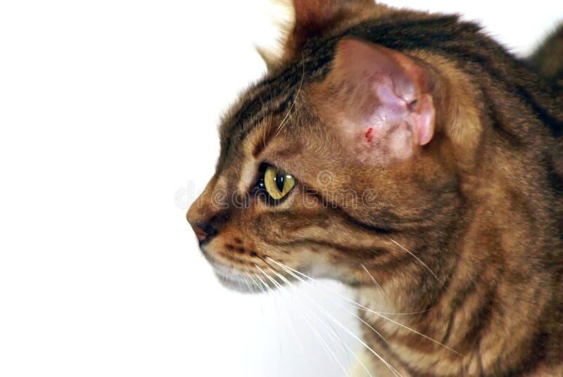 Bengal Cat Profile Stock Image