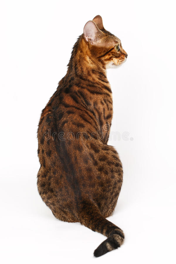 Bengal Cat profile shot royalty free stock images