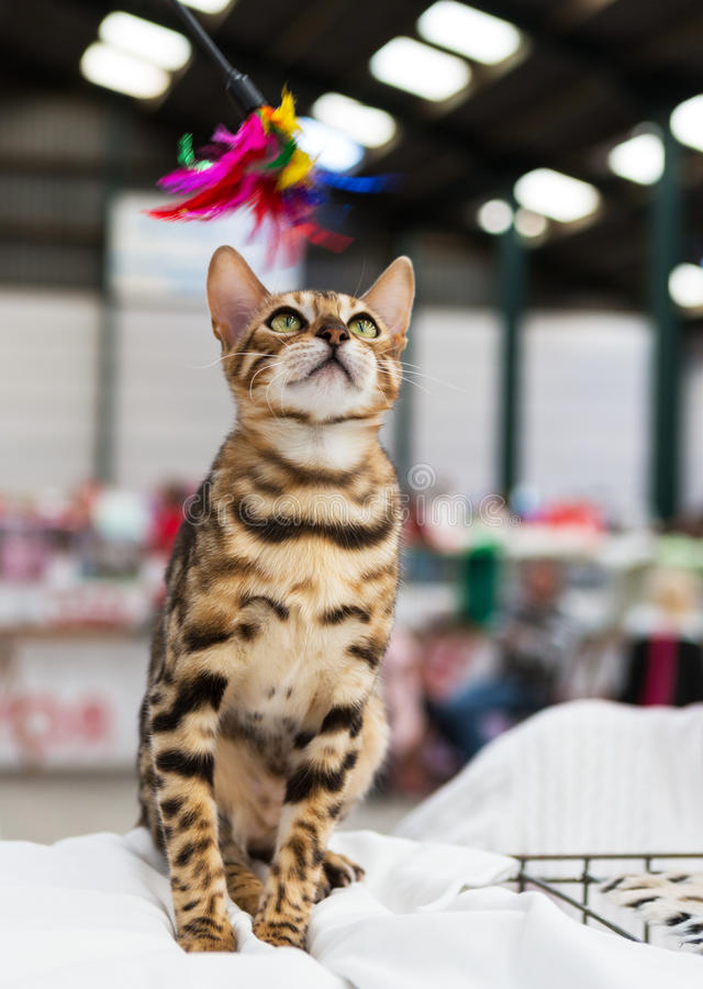 Download Bengal cat stock photo. Image of purebred, spotty, feathers - 33891444