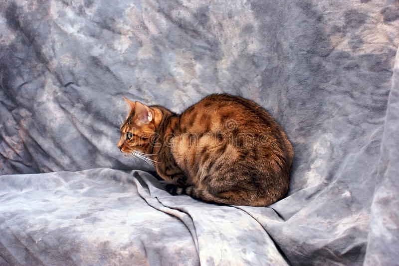 Download Bengal Cat Side View Royalty Free Stock Image - Image: 12597076