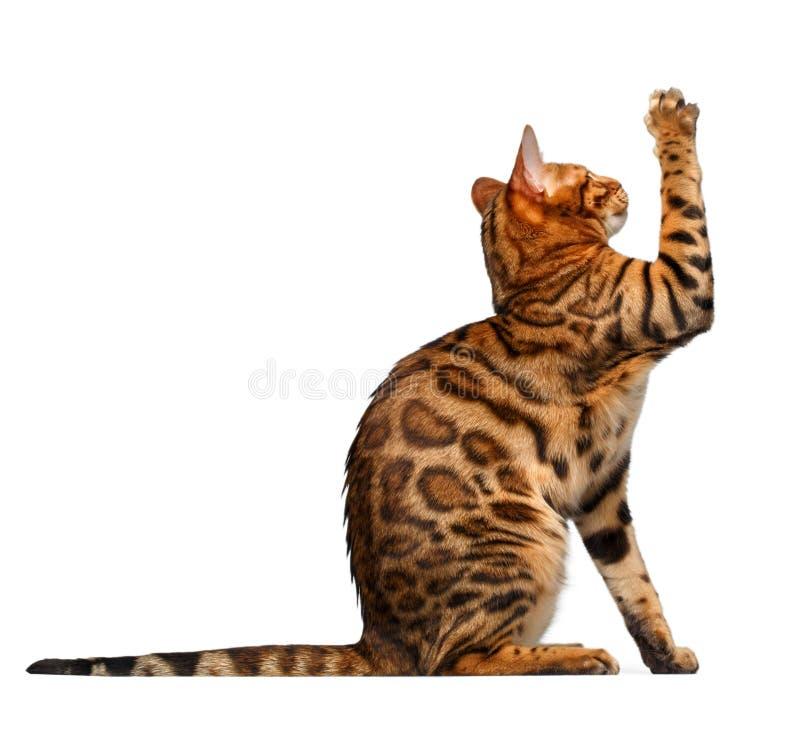 Bengal cat sits and raising up paw. Bengal cat sitsand raising up paw on white background stock photo