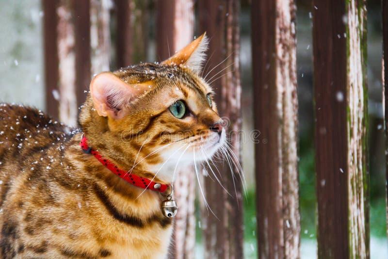 Bengal Cat in the Snow (Felis catus - Prionailurus bengalensis) stock photos