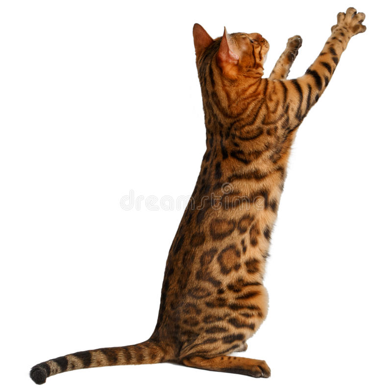 Bengal cat stand and raising up paw. On white background royalty free stock photos