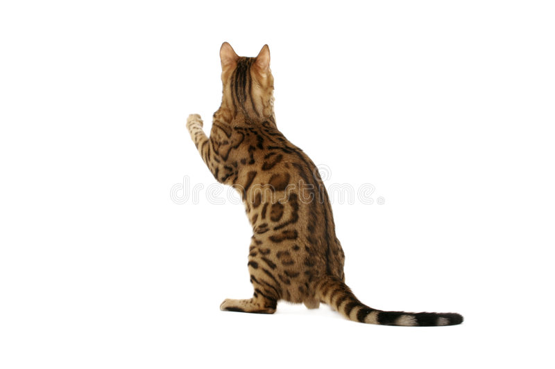 Bengal cat standing on hind legs stock photos