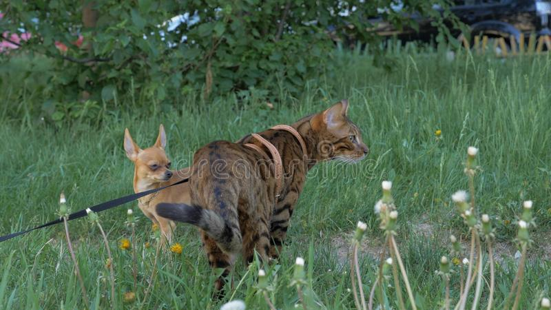 Bengal cat walks in the grass. He shows different emotions. Bengal cat walks in the grass. The dog and the cat are looking away royalty free stock photos