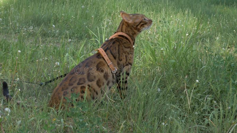 Bengal cat walks in the grass. He shows different emotions. royalty free stock images