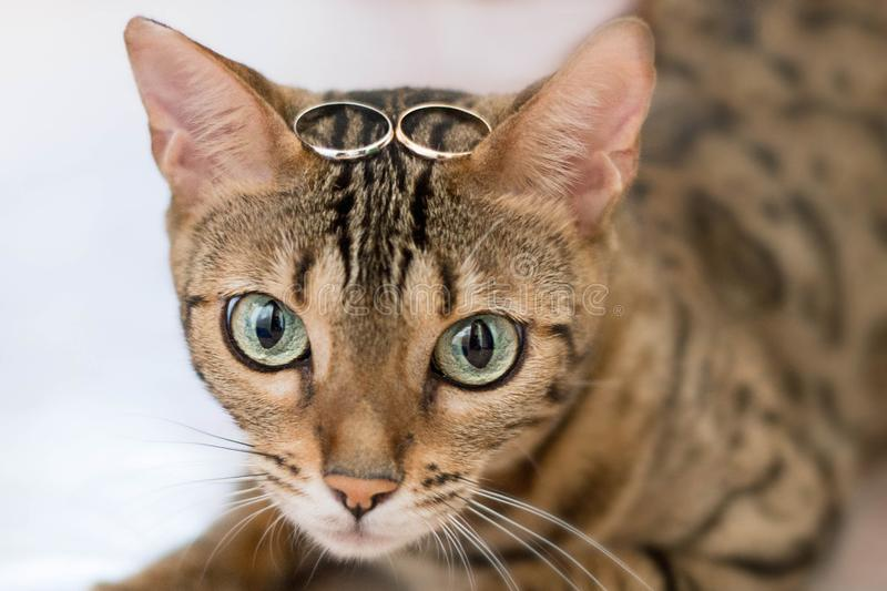 Bengal cat with wedding rings on head.  stock photos