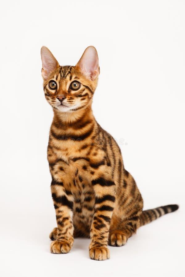 Bengal Cat stock photography