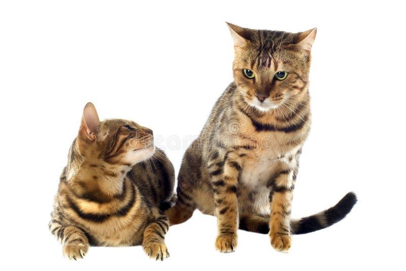 Bengal cats stock photo
