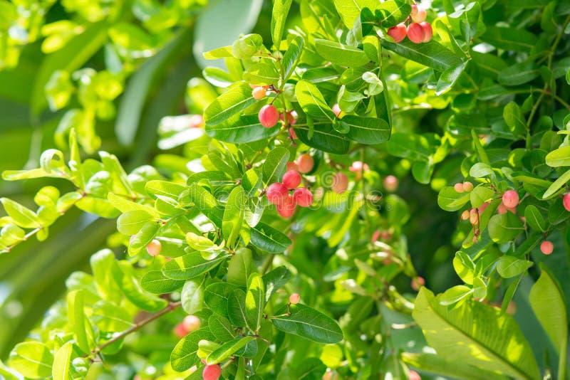 Bengal-Currants, Carandas-plum, Karanda royalty free stock photography