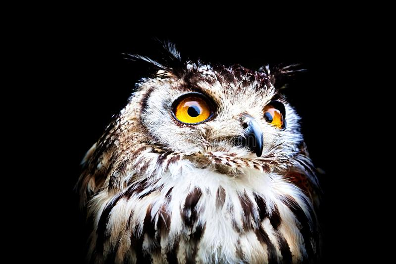 Close up portrait of a Bengal eagle owl stock images