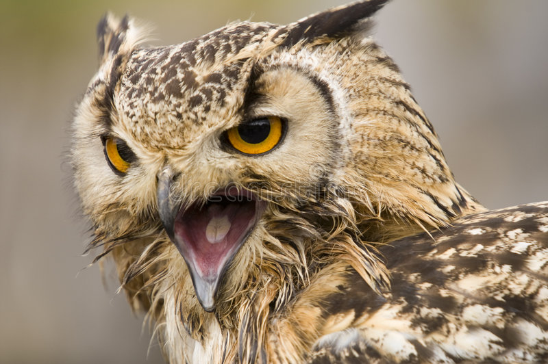 Download Bengal Eagle Owl stock image. Image of captive, endangered - 1423083