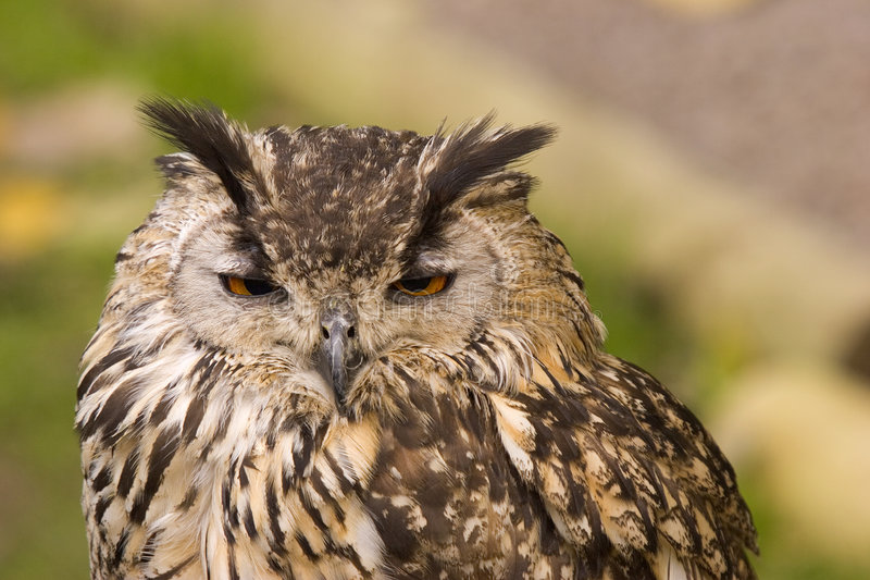 Bengal Eagle Owl stock photography