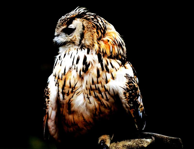 Bengal Eagle Owl fotografering för bildbyråer