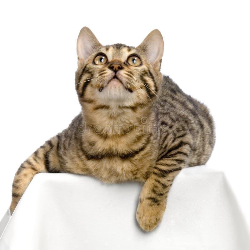 Bengal (gato) fotografia de stock royalty free