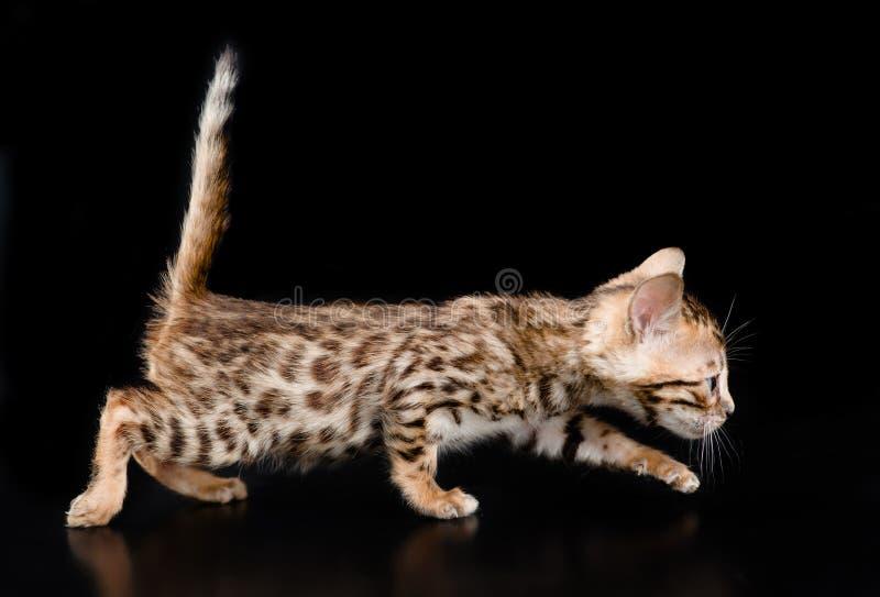 Bengal-Kätzchen, das auf dunklen Hintergrund geht lizenzfreie stockbilder
