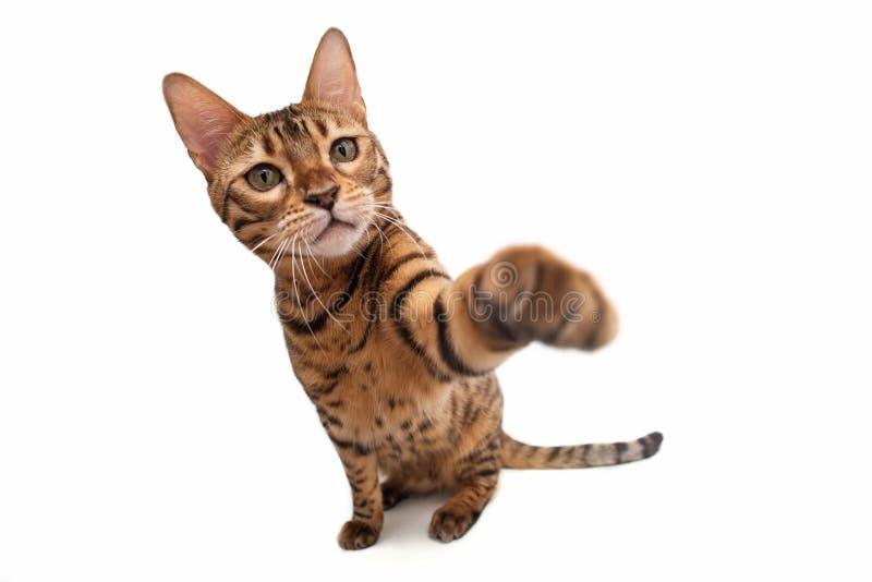 bengal katt bakgrund isolerad white arkivfoton