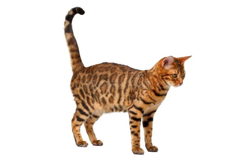 Bengal katt som går på vit arkivbilder