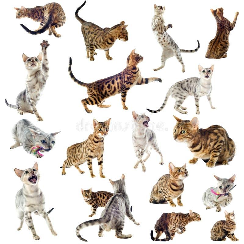 Bengal katter royaltyfri bild