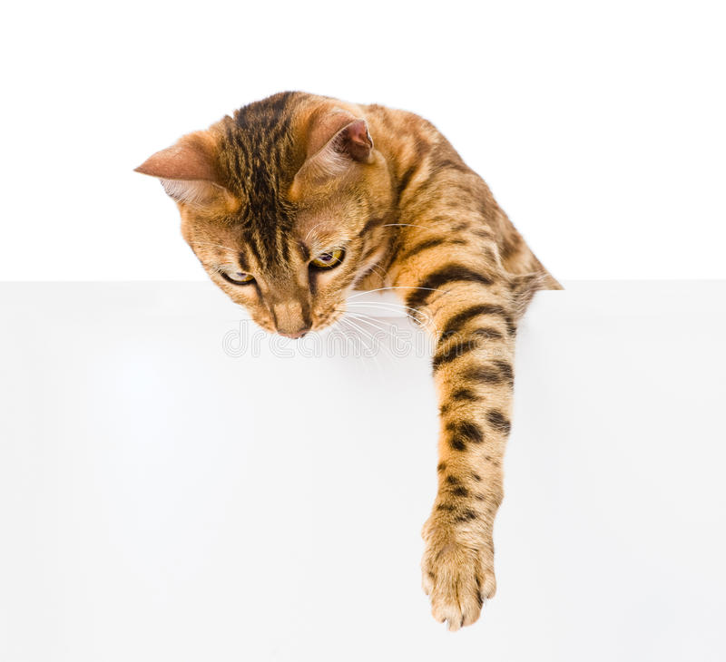 Bengal kattunge med det tomma brädet På vitbakgrund royaltyfria bilder