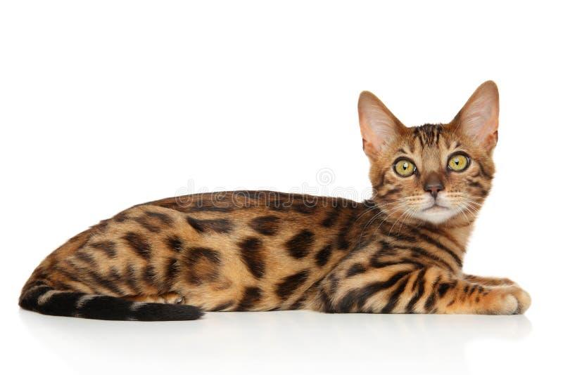 Bengal kattunge på en vit bakgrund royaltyfri fotografi