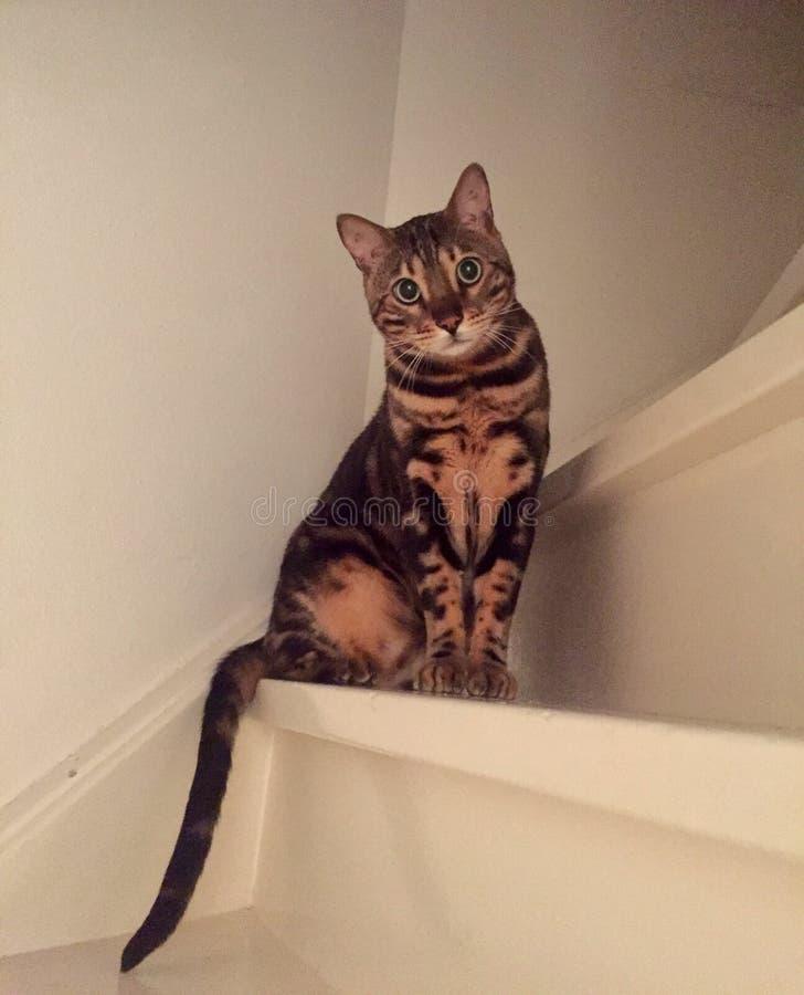 Bengal-Katze auf der Treppe lizenzfreies stockbild