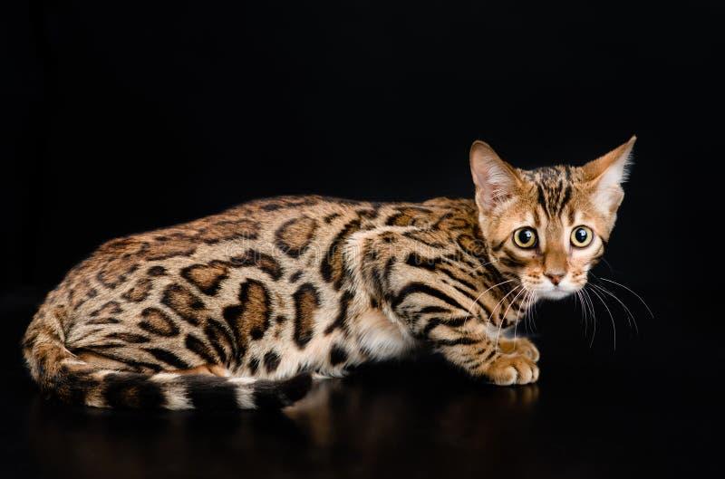 Bengal-Katze auf dunklem Hintergrund lizenzfreie stockfotografie