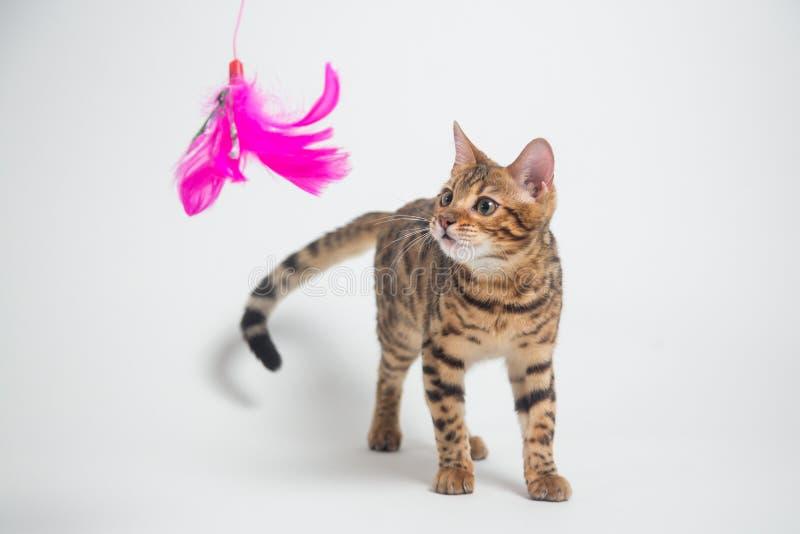 Bengal-Katze, die auf weißem Hintergrund spielt stockfotografie