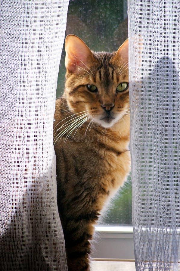 Bengal-Katze im Fenster stockfotos