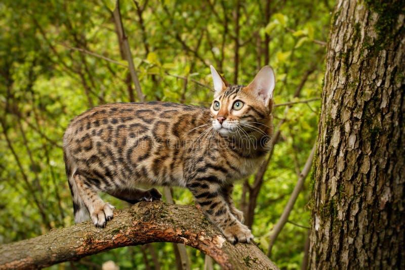 Bengal-Katze im Freien stockfotos