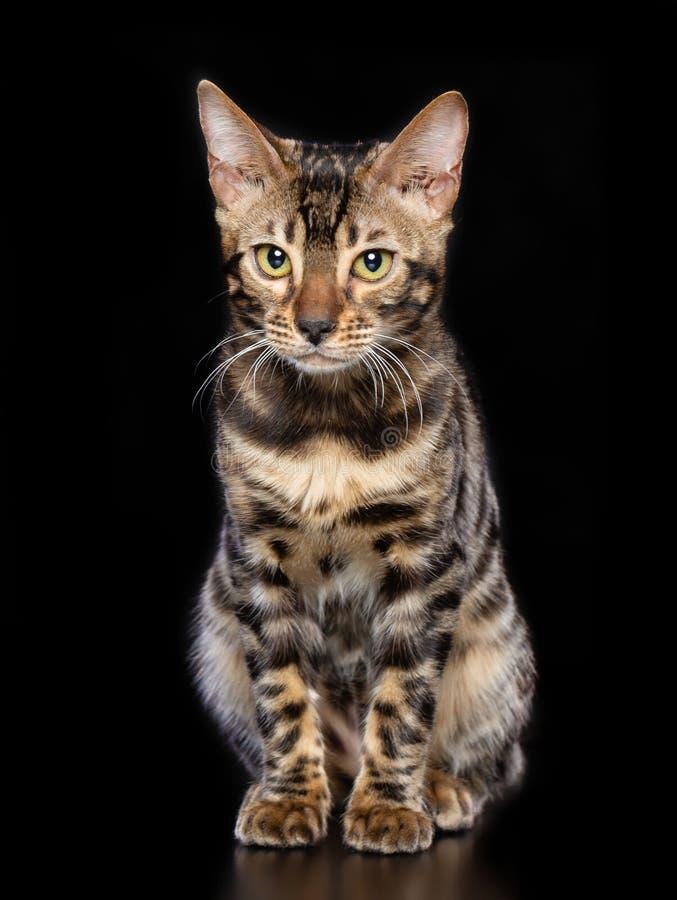 Bengal-Katze lokalisiert auf schwarzem Hintergrund lizenzfreie stockfotos