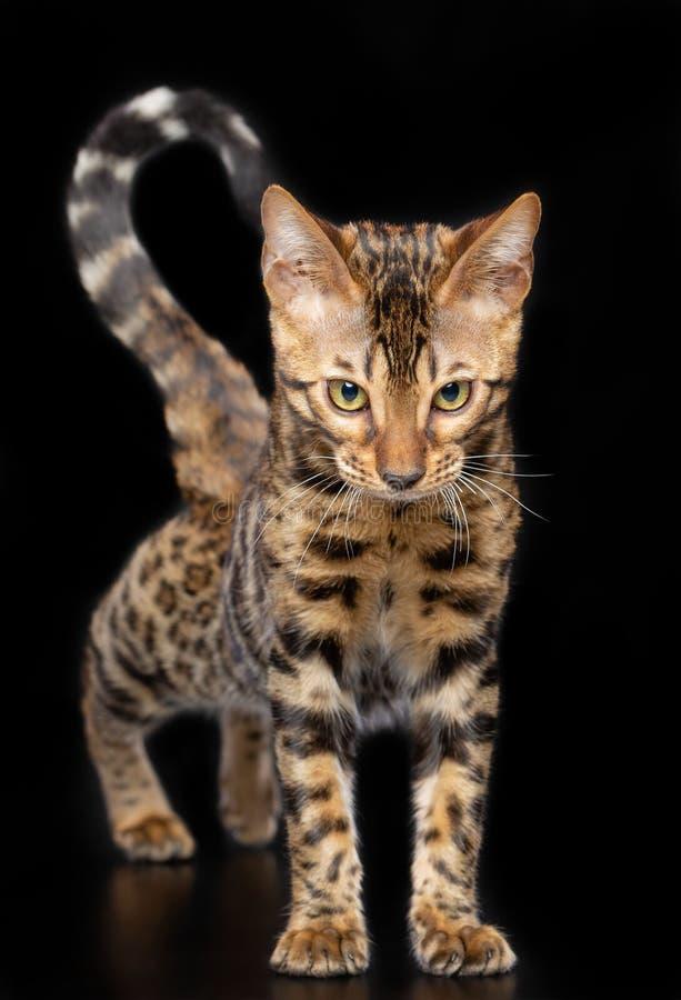 Bengal-Katze lokalisiert auf schwarzem Hintergrund stockfoto