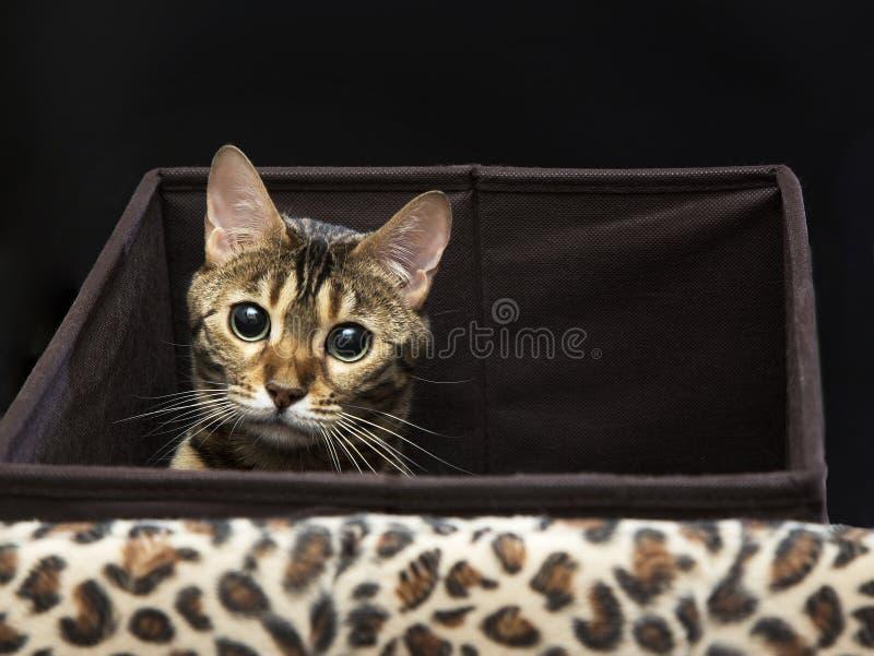 Bengal-Katzennahaufnahmeporträt auf einem schwarzen Hintergrund stockfotografie