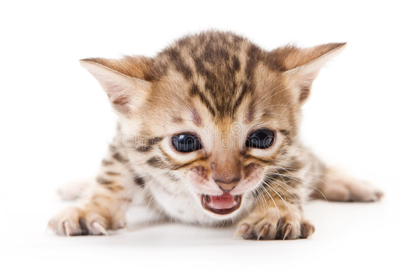 Bengal Kitten Stock Images