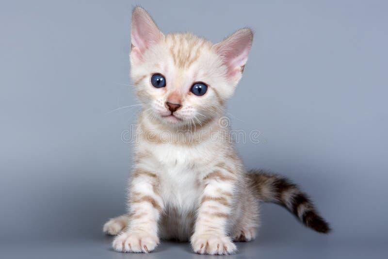Bengal kitten royalty free stock photos