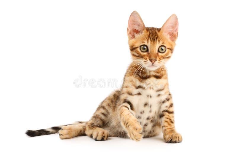 Bengal kitten royalty free stock photography