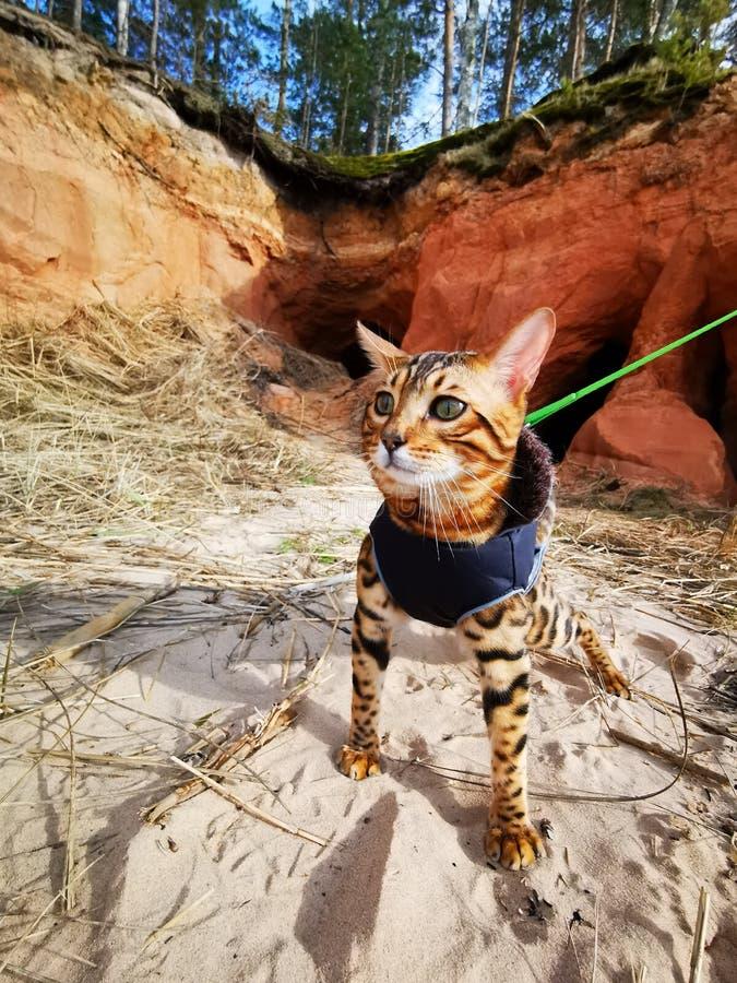 Bengal kitten on a beach stock photo