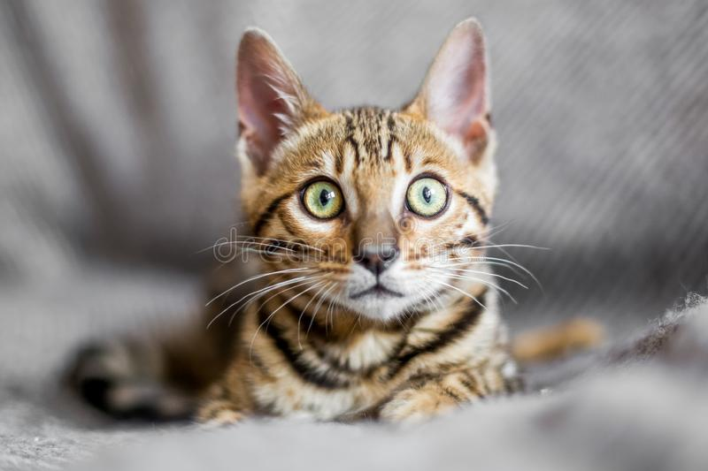 A Bengal kitten lying on a grey blanket royalty free stock image