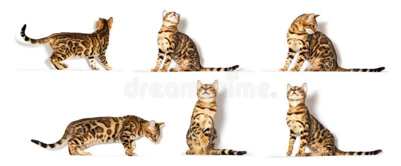 Bengal kitten olha foto de stock royalty free