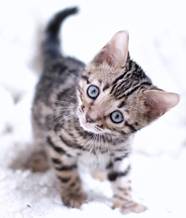 Bengal kitten played. And looks into eyes funny royalty free stock image