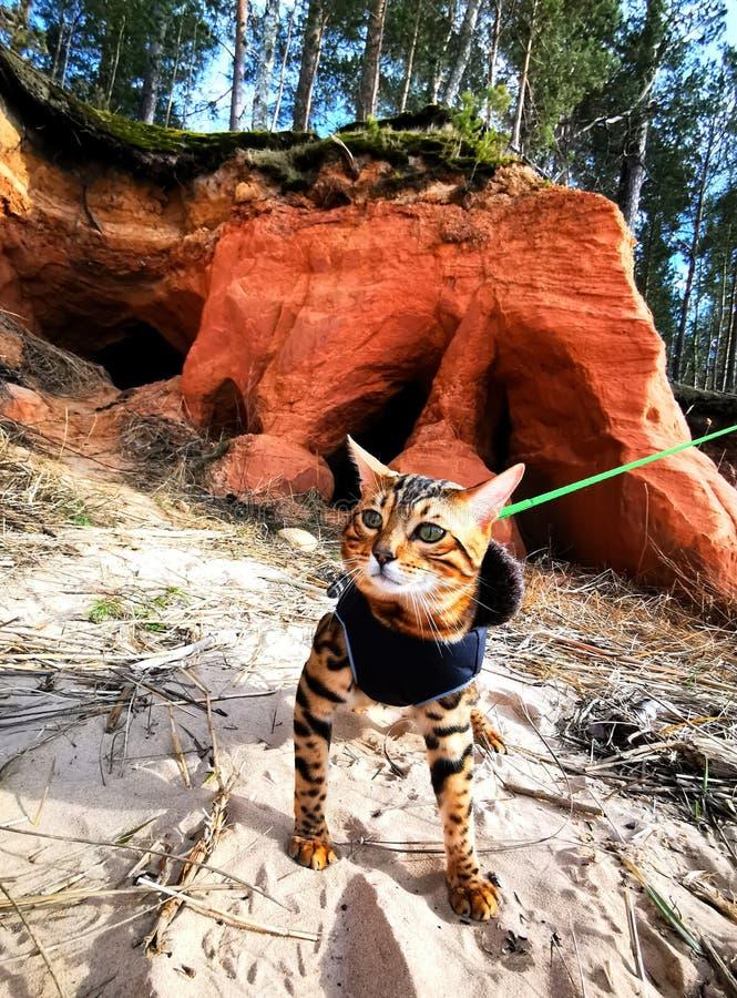 Bengal kitten on a walk stock photography