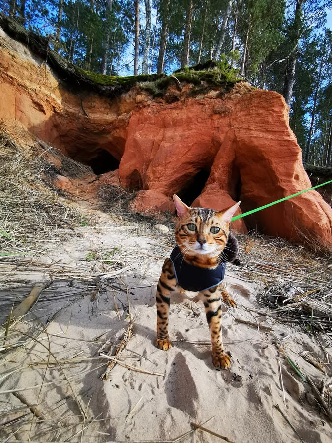 Bengal kitten on a beach stock images