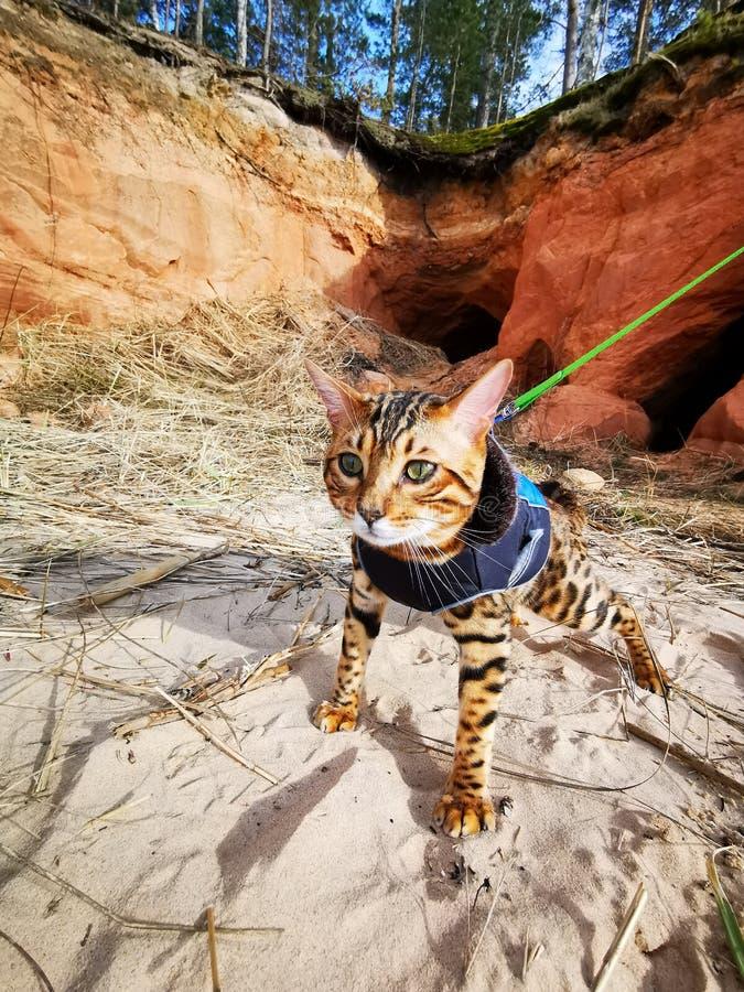 Bengal kitten on a beach stock image