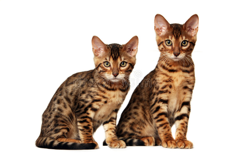 Bengal kittens. On white background royalty free stock image
